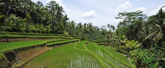 Rice fiels Canggu Bali